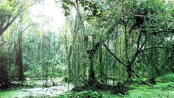 Tropical Rainforest Marshland