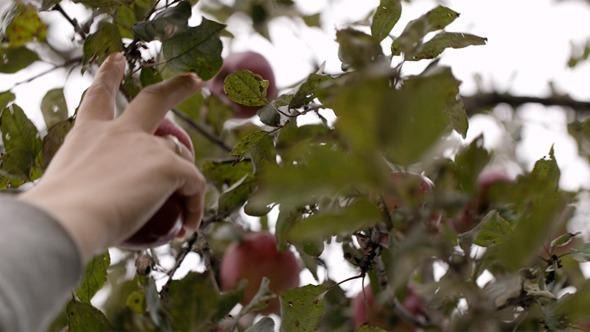 Gathering Fresh Apples 2