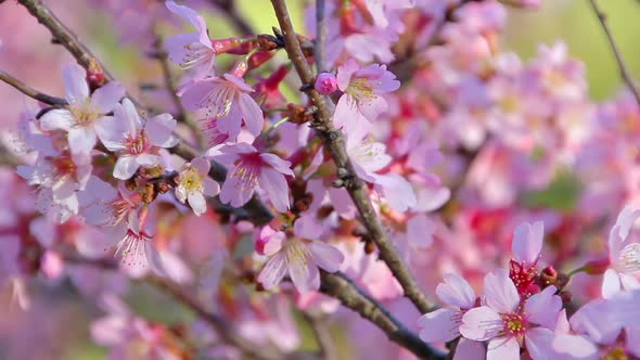 Download Cherry Blossom nulled download