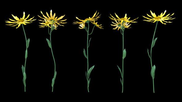 Growing Flowers Arnica Montana