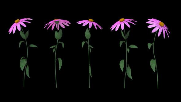 Growing Flowers Echinacea