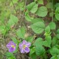 Violet ganges primrose flowers. - PhotoDune Item for Sale