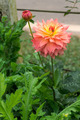 Pink flower. - PhotoDune Item for Sale