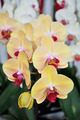 Yellow Orchid flowers. - PhotoDune Item for Sale