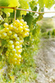 Sweet and tasty white grape bunch - PhotoDune Item for Sale
