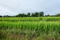 Rice terrace field in countryside at Mae Chaem, Thailand. - PhotoDune Item for Sale