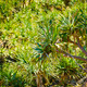 Pandanus Palm Tree - PhotoDune Item for Sale