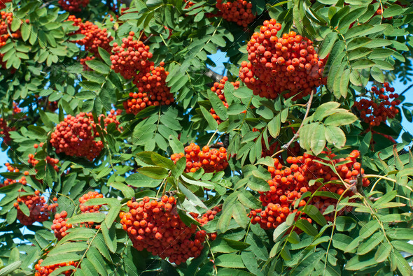 Rowan berries - Stock Photo - Images