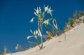Sand Lily on a mediterranean dune - PhotoDune Item for Sale