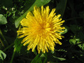 Yellow dandelion - PhotoDune Item for Sale