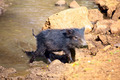 Baby of Peccary