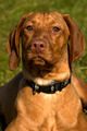 Hungarian vizsla - PhotoDune Item for Sale
