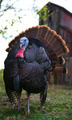 Wild Turkey Struts in a Barnyard - PhotoDune Item for Sale