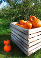 Autumn pumpkins in a apple orchard - PhotoDune Item for Sale