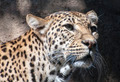 Leopard Portrait - PhotoDune Item for Sale