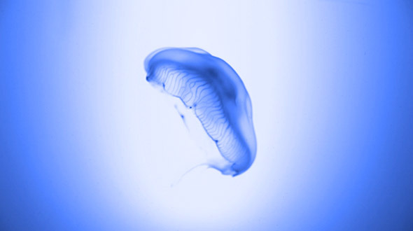 Jellyfish in Blue Environment