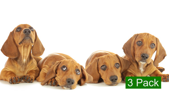 Dachshund Puppy 3-Pack