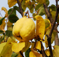 Ripe Yellow Quince - PhotoDune Item for Sale