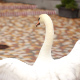 White Swan - VideoHive Item for Sale