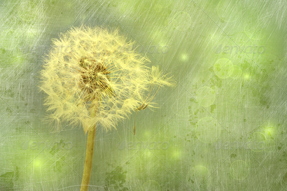 Closeup of dandelion with seeds - Stock Photo - Images
