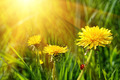 Big yellow dandelions in the tall grass - PhotoDune Item for Sale