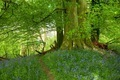 Beech wood with bluebells - PhotoDune Item for Sale