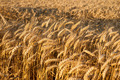 Grain at Harvest, Growing Barley and Wheat, on Field, Agricultural Background.