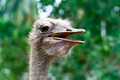 Ostrich - PhotoDune Item for Sale