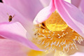 A bee flying with the lotus as background - PhotoDune Item for Sale