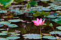A lotus in a pond with lots of lily pads. - PhotoDune Item for Sale