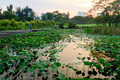 View of a lotus pond during sunrise - PhotoDune Item for Sale