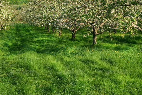 Apple orchard - Stock Photo - Images