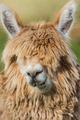 alpaca portrait peruvian Andes  Cuzco Peru - PhotoDune Item for Sale