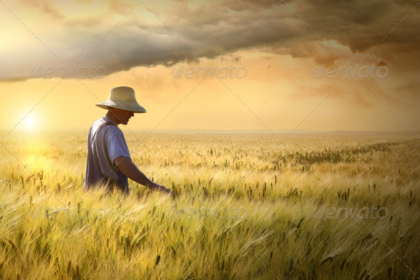 Farmer checking his crop of wheat - Stock Photo - Images