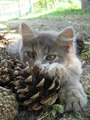 Cat and fir-cone - PhotoDune Item for Sale