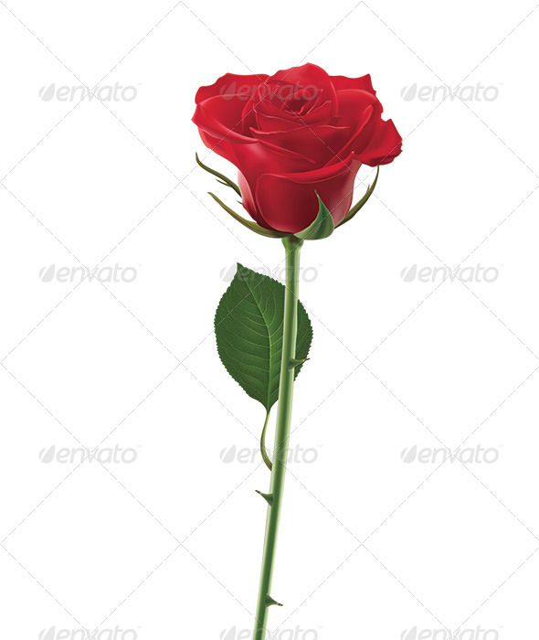 GraphicRiver Red Rose Isolated on White 6618512