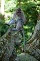 Monkey, Ubud Bali Indonesia - PhotoDune Item for Sale