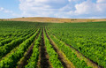 Landscape with beautiful Bulgarian vineyards - PhotoDune Item for Sale