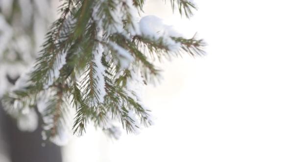 Fir-Tree Twig