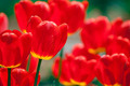 Beautiful red tulips field - PhotoDune Item for Sale