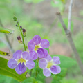 Violet ganges primrose flowers. - PhotoDune Item for Sale
