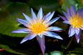 Water Lily - PhotoDune Item for Sale