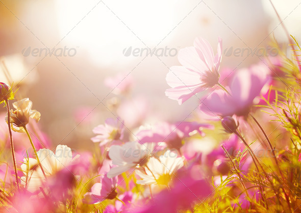 Daisy flower - Stock Photo - Images