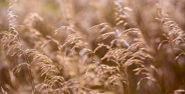 Spikelets Are Playing In The Sun 1