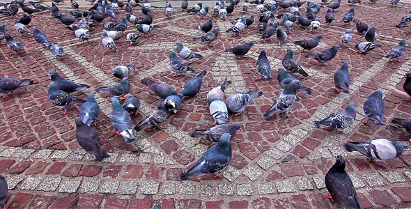 Pigeons Being Fed