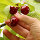 Picking Cherries - VideoHive Item for Sale