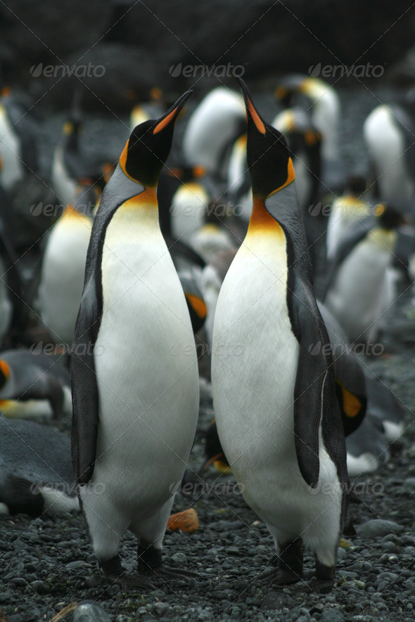 Penguin duet - Stock Photo - Images