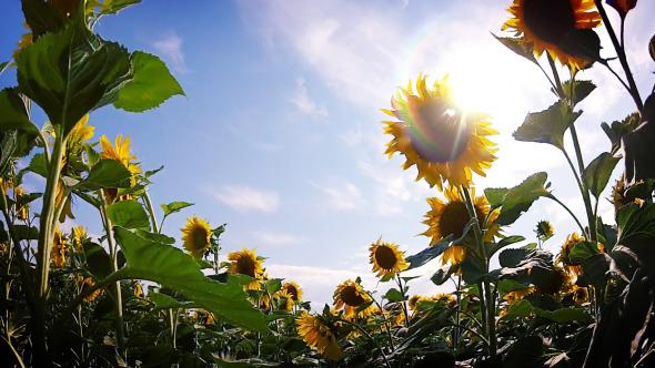 Field of Sunflowers Walk