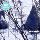 Winter Feeding on Swan Lake - VideoHive Item for Sale