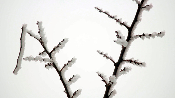 Branch in Hoarfrost 5